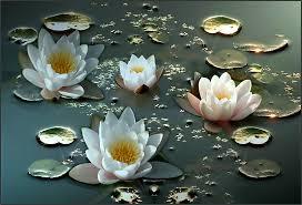 flores-de-loto-blancas